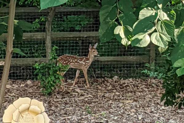 What a deer, delightful neighborhood we live in!